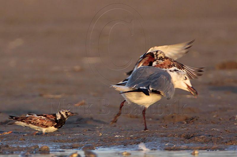 _MG_6587 Ruddy Turnstone & Laughing Gull.jpg