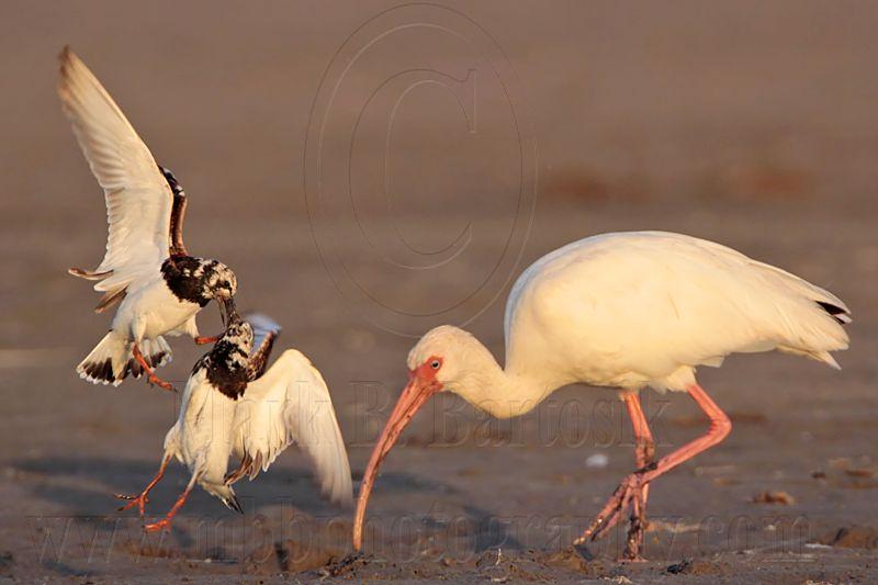 _MG_6594 Ruddy Turnstone & White Ibis.jpg