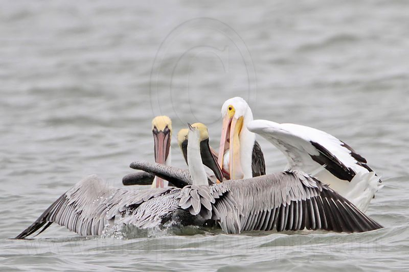 _MG_7525 Brown & American White Pelican.jpg