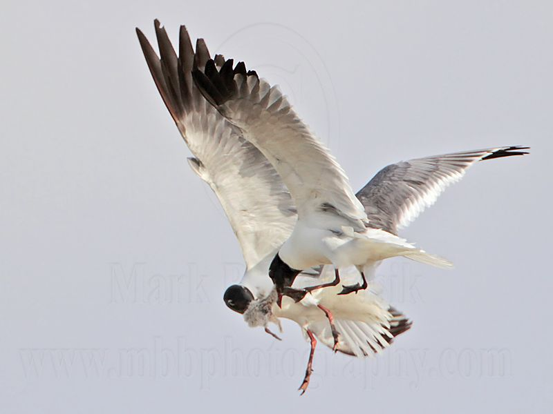 _MG_6981 Laughing Gull with stolen Black Skimmer chick.jpg