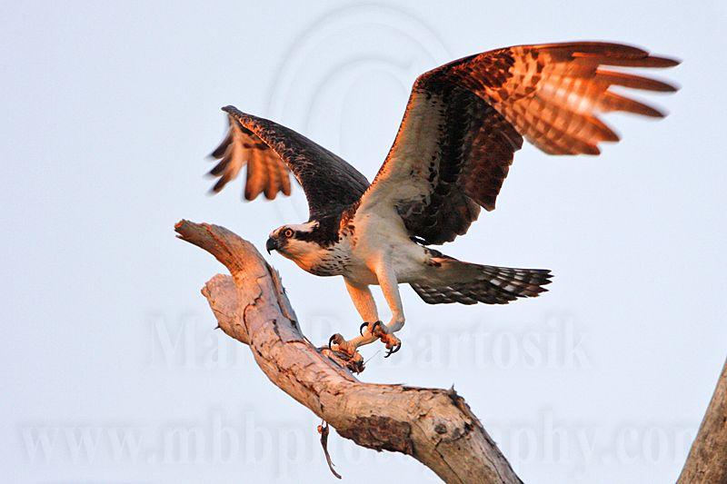 _MG_4412 Osprey.jpg