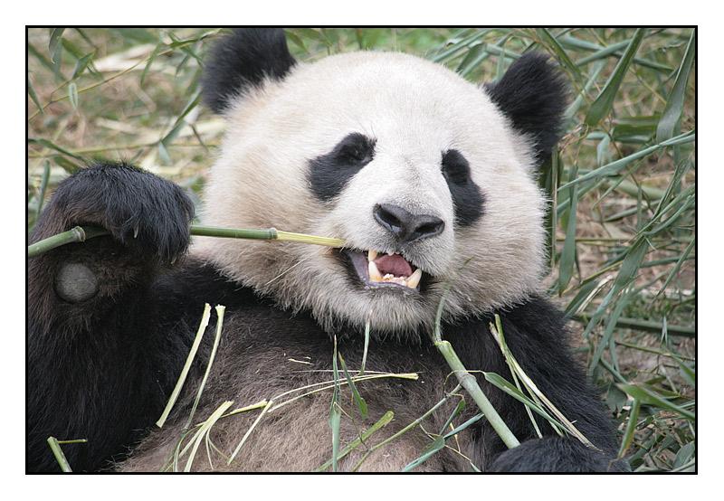 Panda at Chengdu Breeding Centre