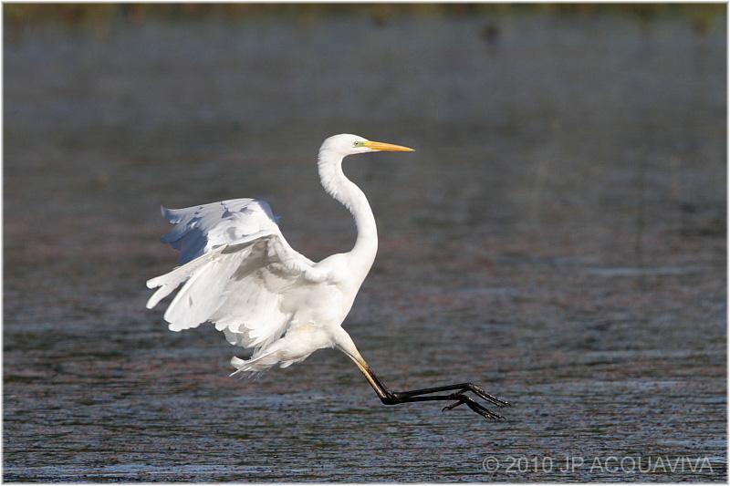 grande aigrette - great egret 2.jpg