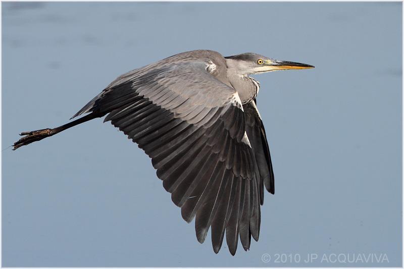 grey heron - héron cendré.JPG