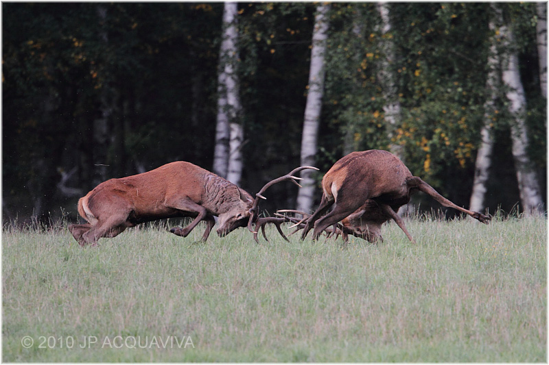 combat de cerf - red deer fight 1831.JPG