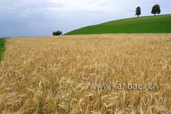 Kornfeld (76215)