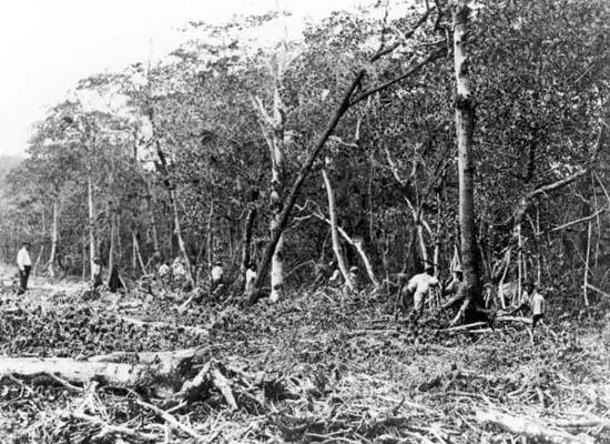 1920 - Mangrove Forest Destruction on Miami Beach