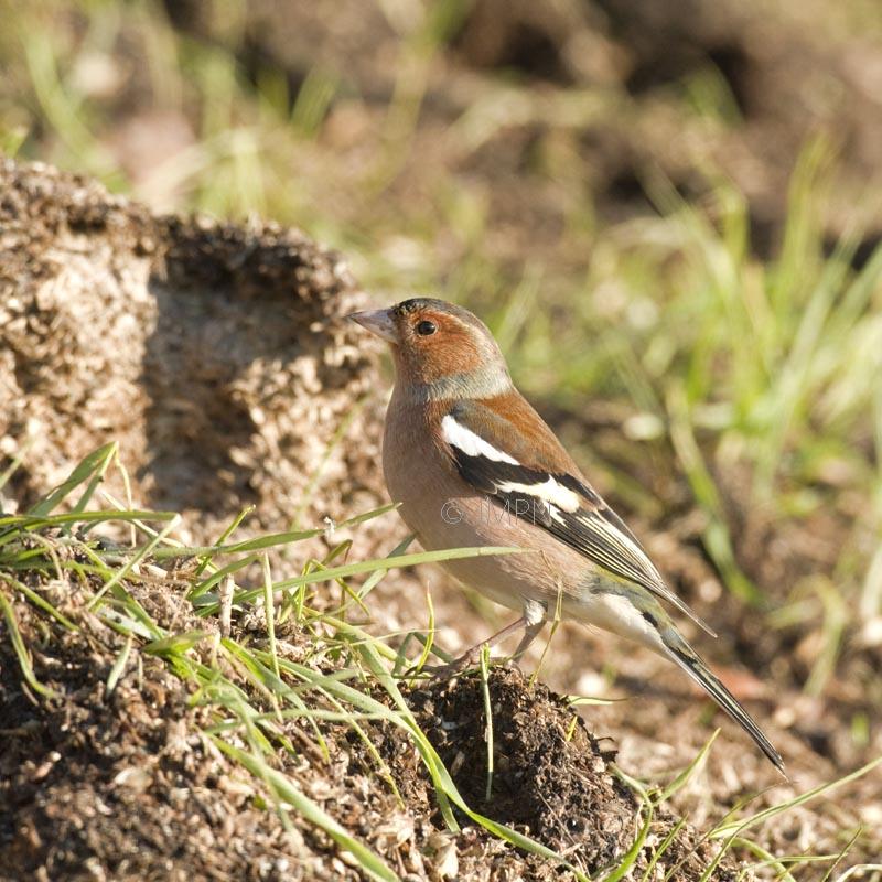 Fringilla coelebs - Pinson des arbres - Common Chaffinch