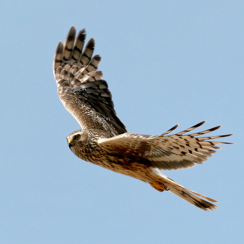 Circus cyaneus - Busard Saint-Martin - Northern Harrier (Hen Harrier)