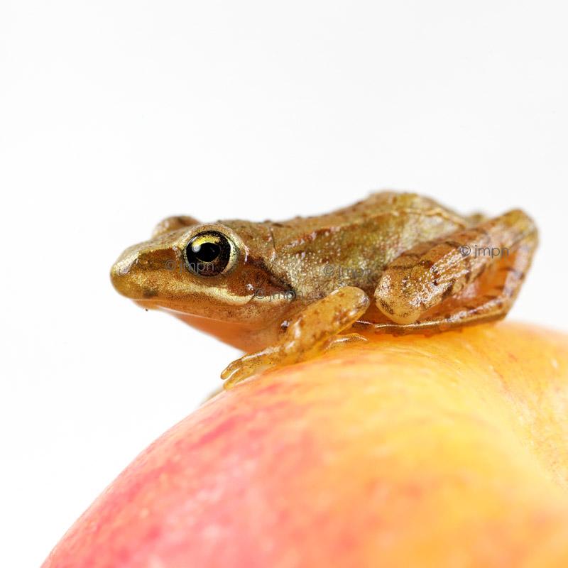 Little frog on an apple
