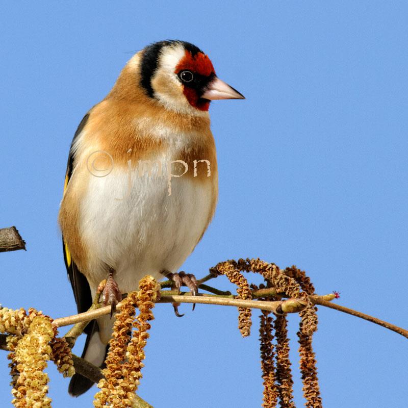 Carduelis carduelis - Chardonneret élégant - Goldfinch