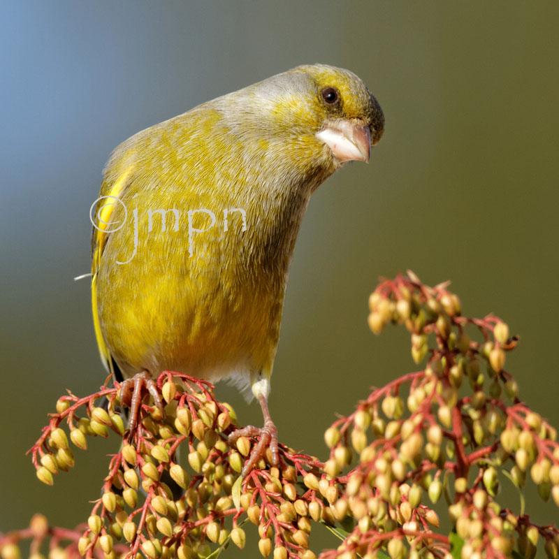 Carduelis chloris - Verdier dEurope - Greenfinch