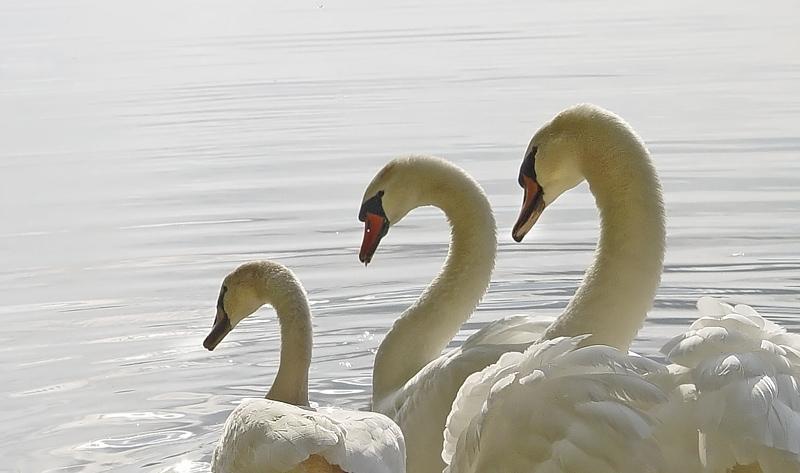 Cygnus olor - Cygne tuberculé - Mute Swan