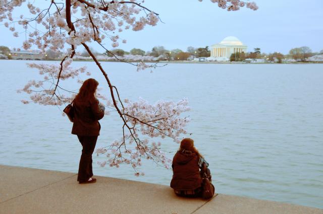 Cherry blossoms in Washington, D.C.