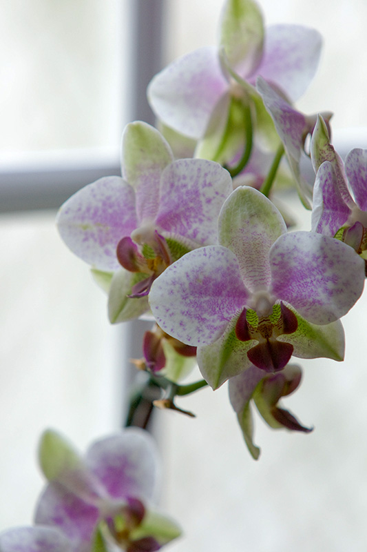 Backlighted orchid