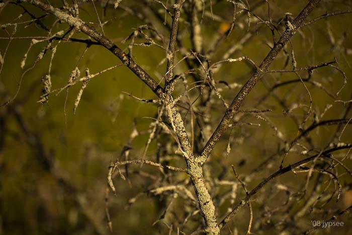 lichen on dead apple tree