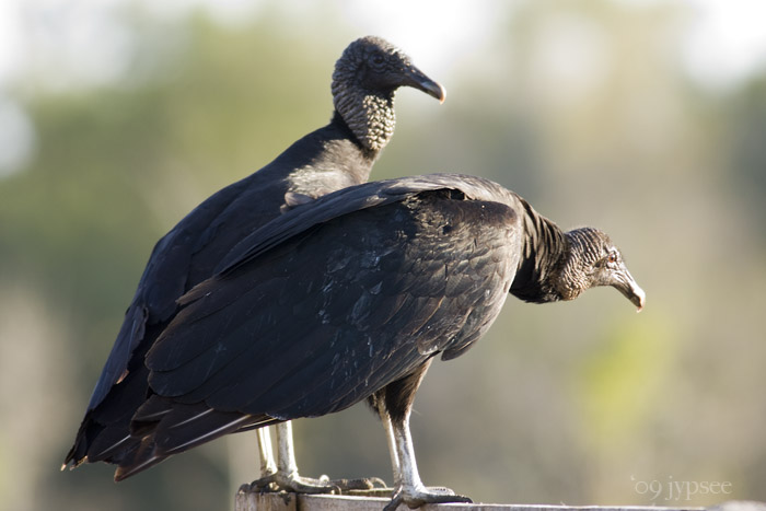 two black vultures