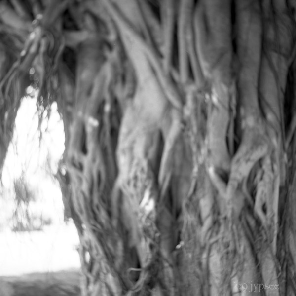 twisted banyan