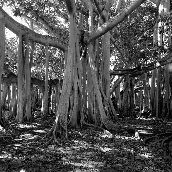 the edison ford banyan tree