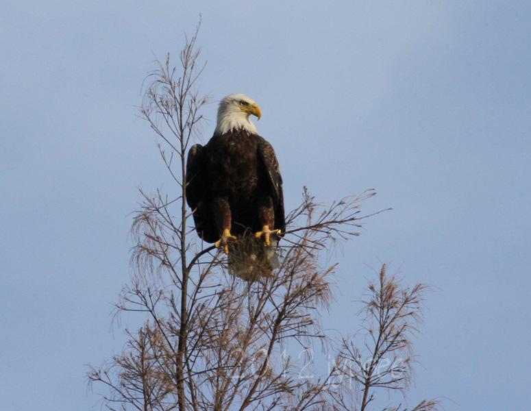 visiting bald eagle