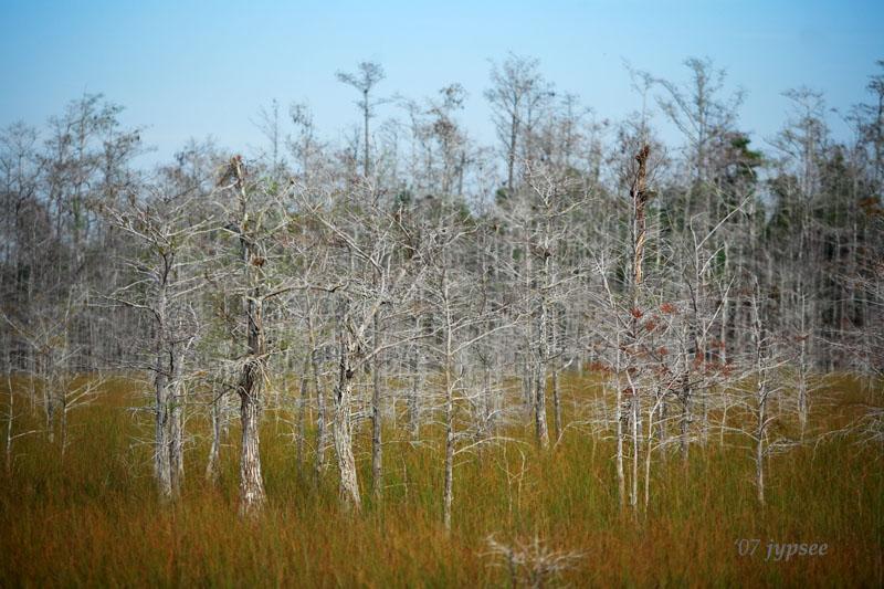 dwarf cypress forest