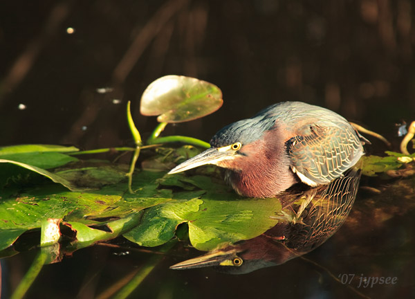 green heron hunting on a lily pad