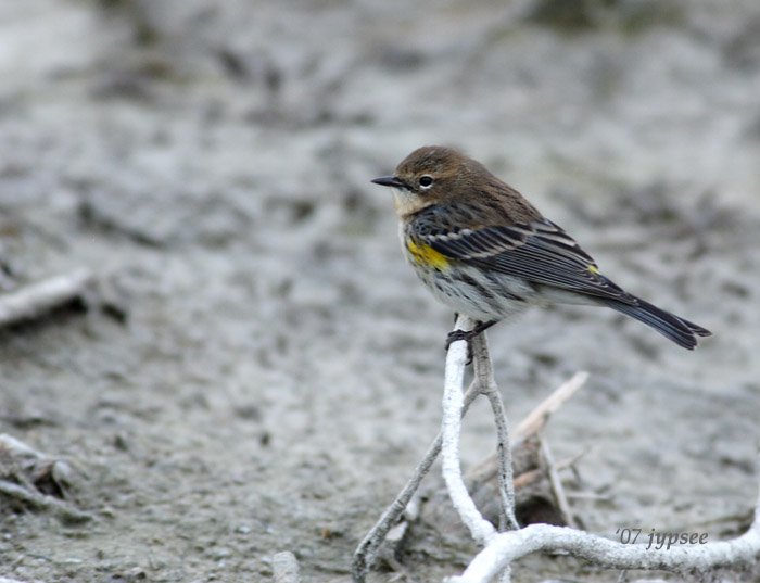 yellow rumped warbler at dusk
