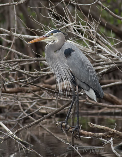 great blue heron posed
