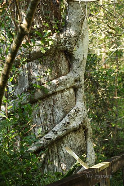 strangler fig on bald cypress