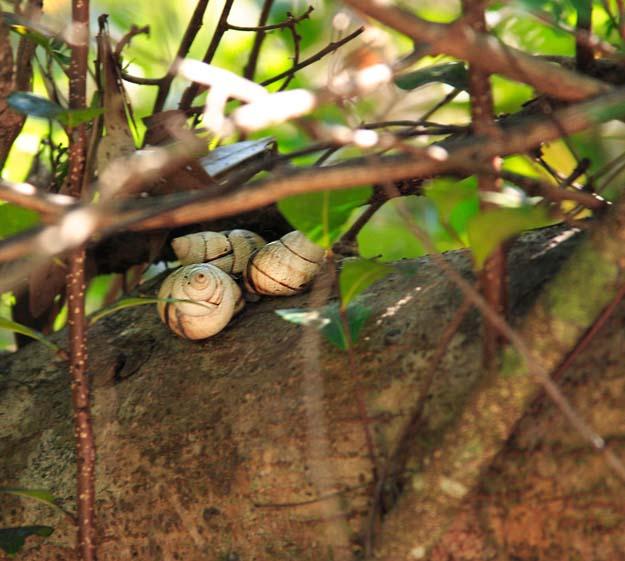 three tree snails