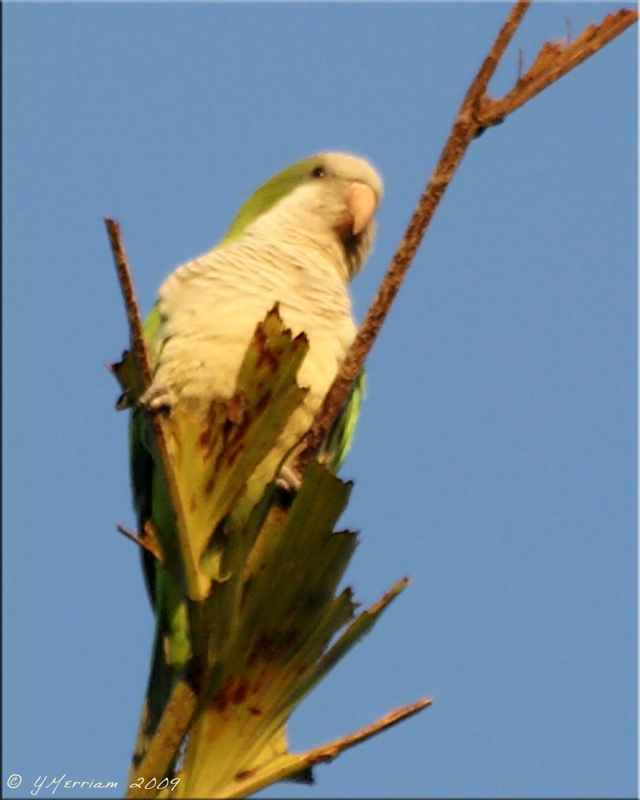 Wild Monk Parakeet