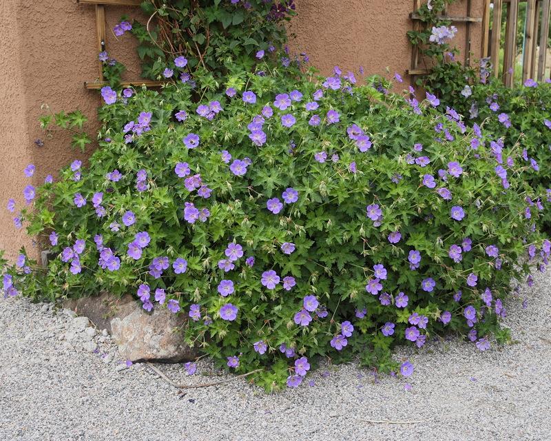 Geranium Johnson Blue #739 (8907)