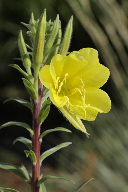 Common Evening Primrose #749 (9147)
