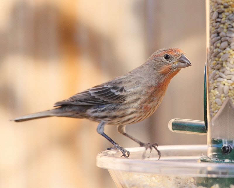 House Finch (6601)