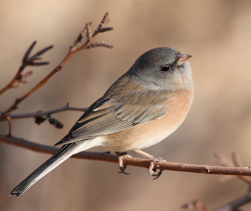 Pink-Sided Junco (6853)