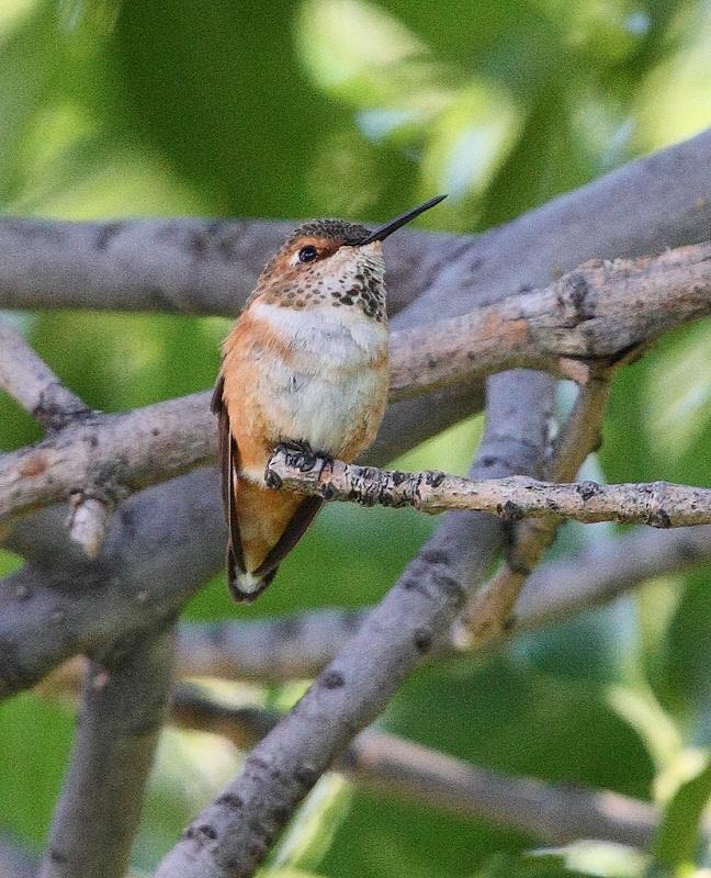 Rufous Hummingbird #9846
