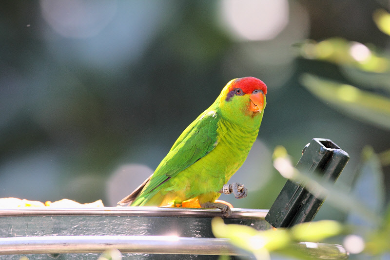 Parakeet (9831)