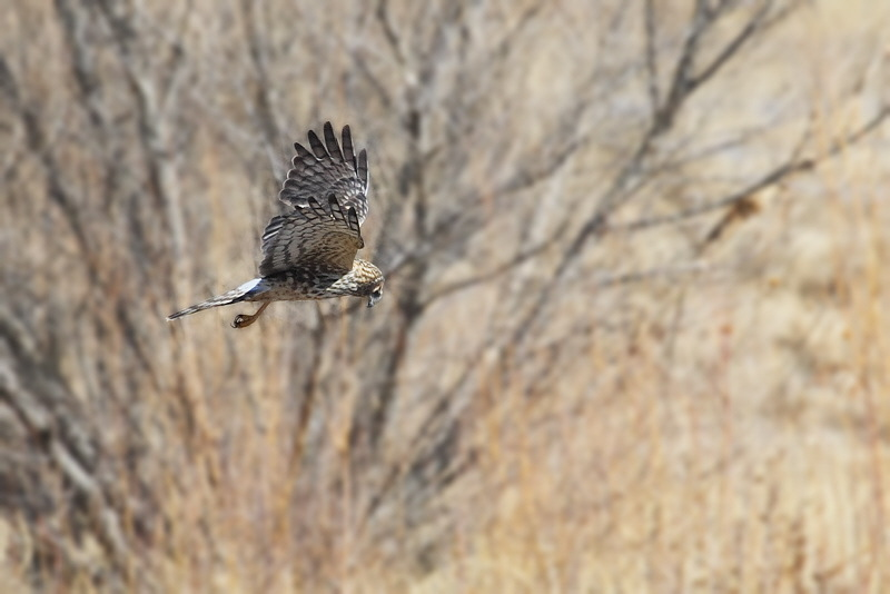 0047_Hawk