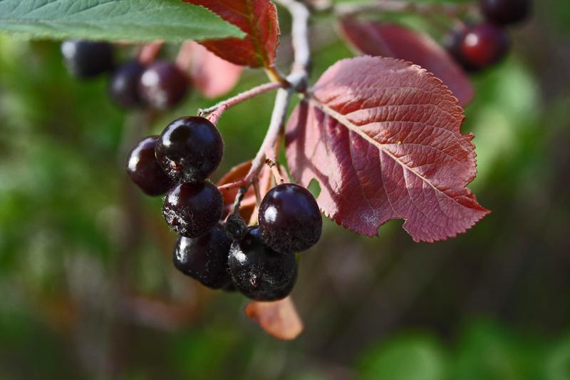 Shiny berries