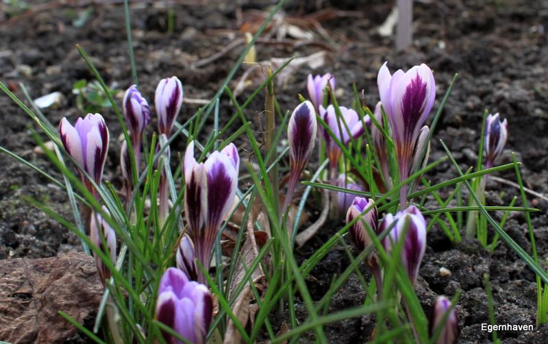 Crocus Spring Beauty