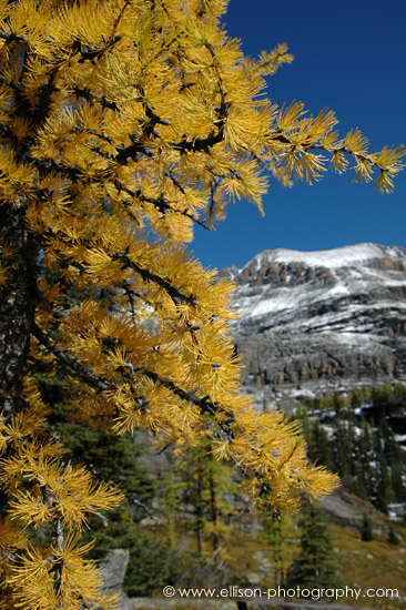 Autumn Larch on the Opabin Plateau