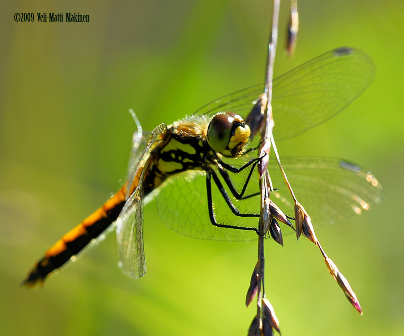 Dragonfly in August