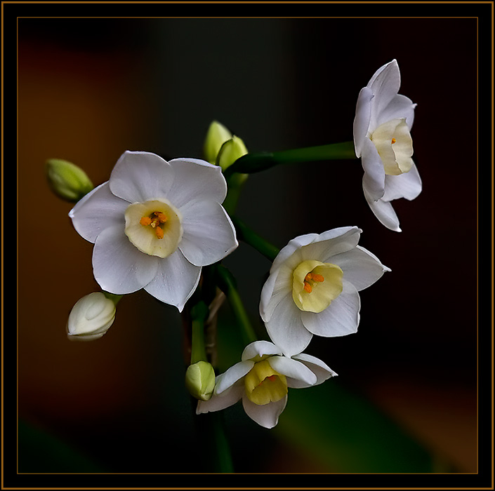 Paper White Narcissus