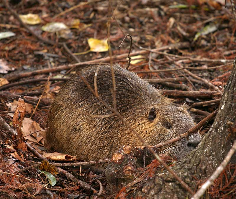 Behold the Nutria