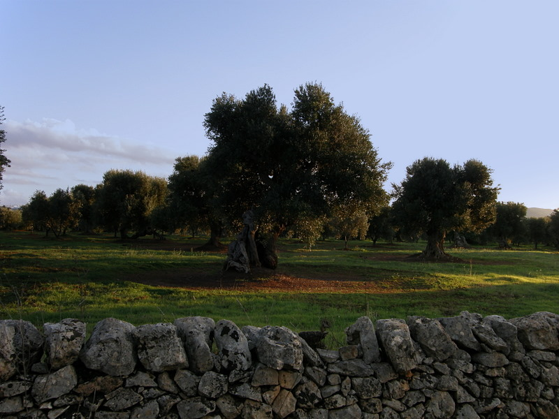 trees of ulivo - Puglia - Italy