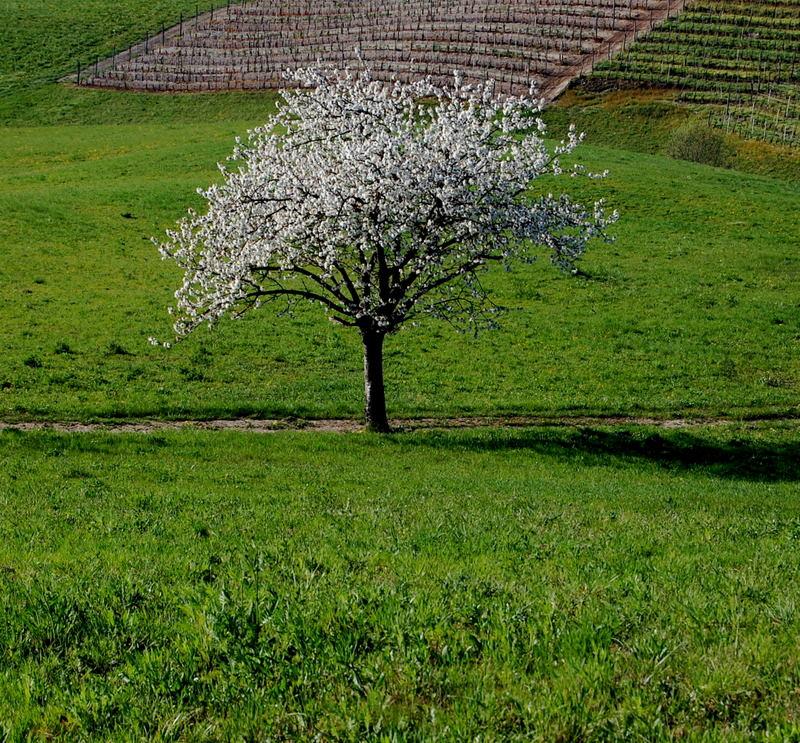 the Tree between the vines