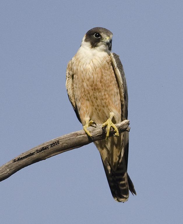 Peregrine Falcon, juvenile.