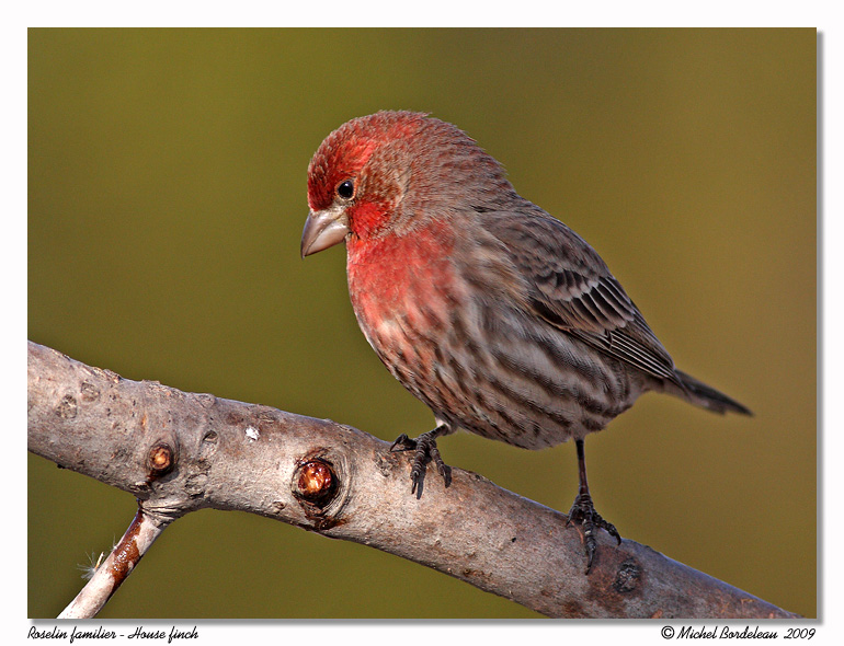 Roselin familier <br/> House finch