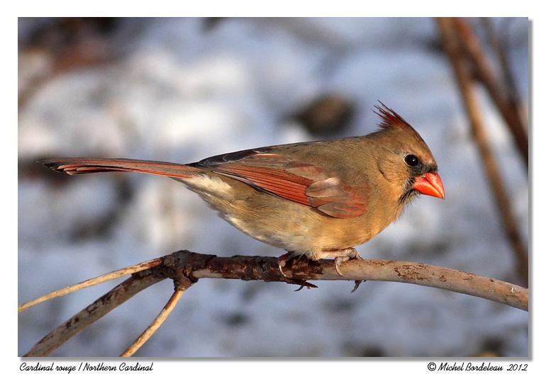 Cardinal rouge <br> Northern Cardinal