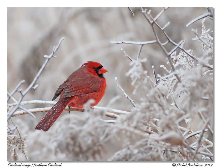 Cardinal rouge <br/> Northern Cardinal